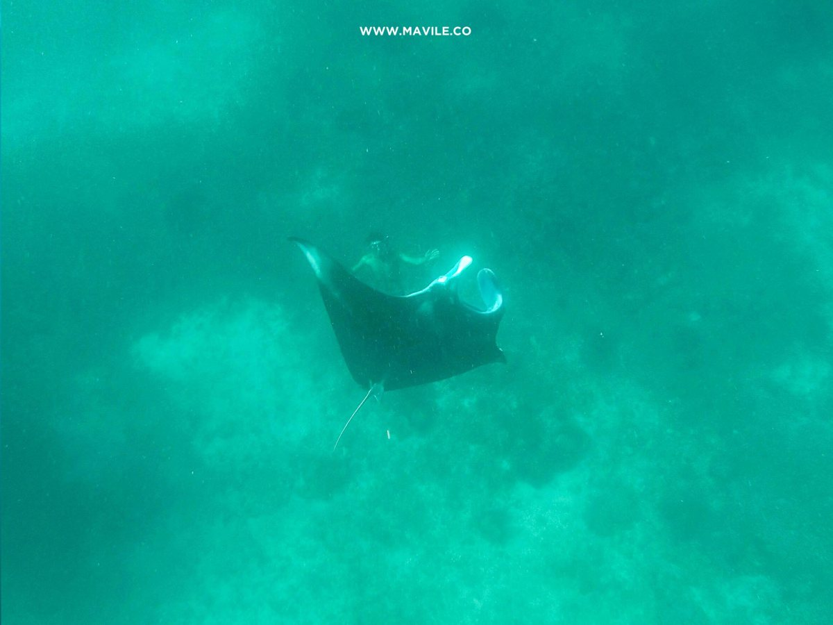 Swimming with Manta Rays in Flores